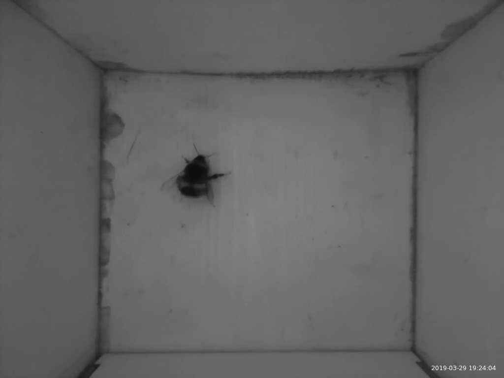 A bee in the nest box